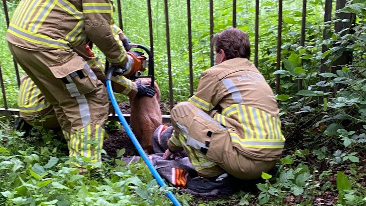 Brandweer bevrijdt ree tweemaal uit hekwerk